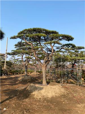 景观松|泰安市肥城市景观松优惠中#福顺园林