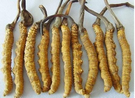 湘西-古丈回收冬虫夏草商家-几年虫草回收价格不断上涨-大量求购