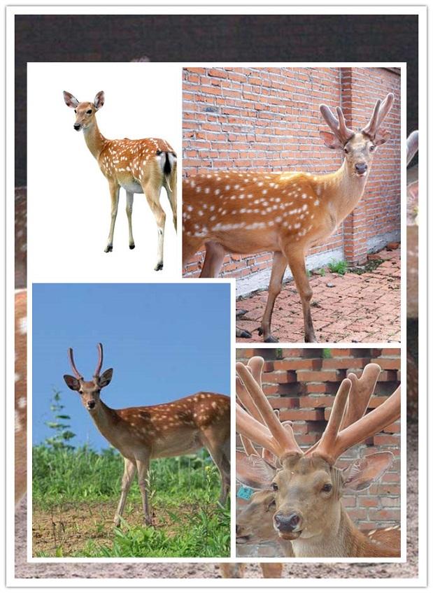 榆林长角梅花鹿养殖基地-出售鹿茸|鹿鞭|鹿酒|鹿品