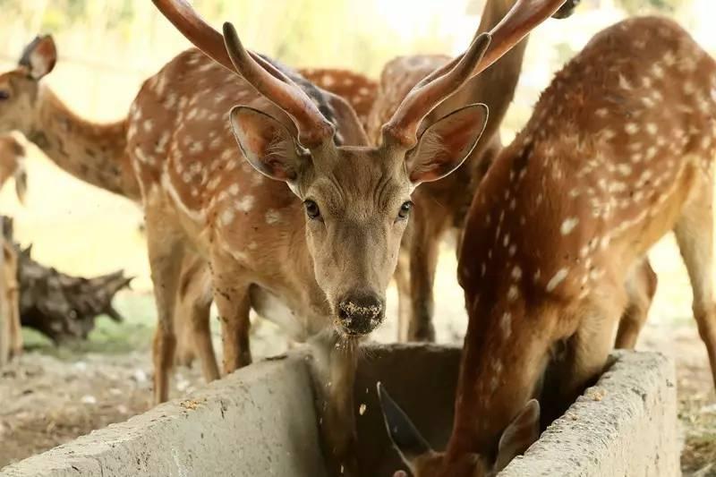 鹤岗种梅花鹿价格-动物园观赏梅花鹿现货供应