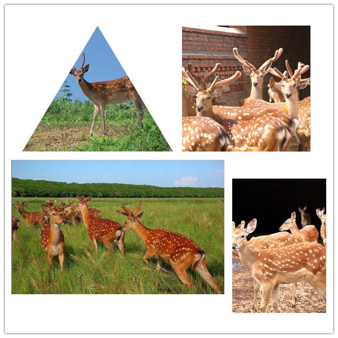 鹤壁活体梅花鹿价格-出售鹿茸|鹿鞭|鹿酒|鹿品
