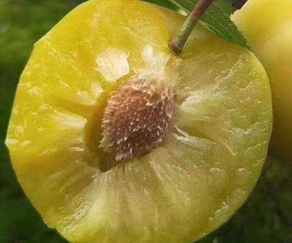 潢川县蜂糖李子苗价格分析 2公分李子苗低价销售