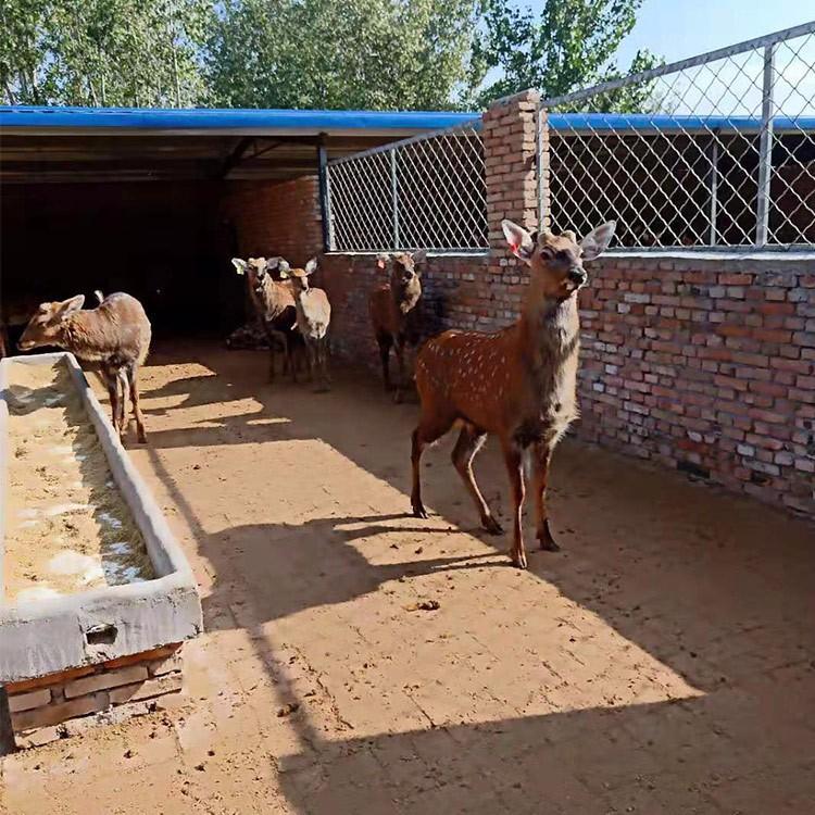 广安各年龄段梅花鹿养殖-厂家直销景区观赏梅花鹿