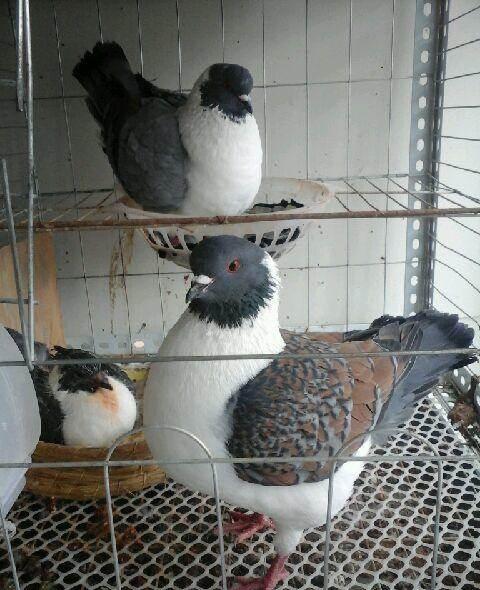 七台河摩登那鸽现货供应_销售供应摩登那鸽乳鸽_【华都观赏鸽】