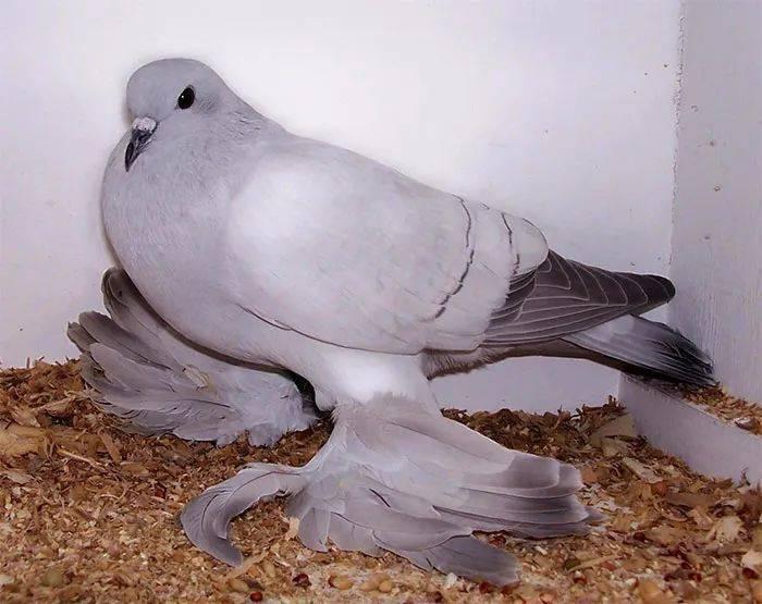 (常年出售)观赏鸽  淑女鸽青年种鸽-汕头观赏鸽种鸽批发价格