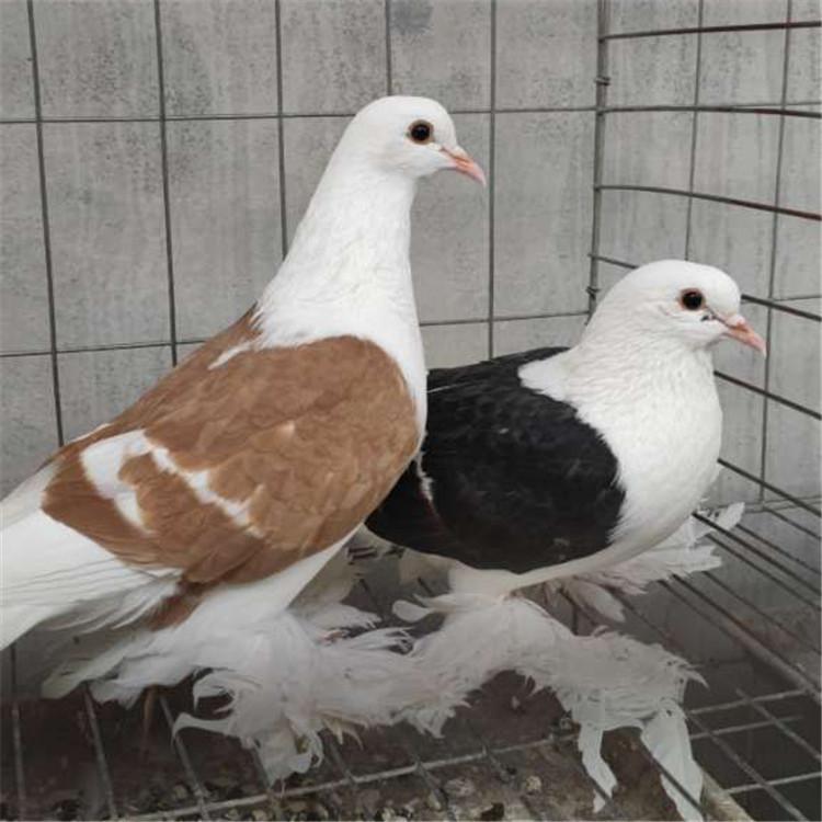 观赏鸽-种鸽-玉溪凤尾鸽养殖合作社