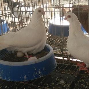 观赏鸽-种鸽-忻州淑女鸽养殖合作社