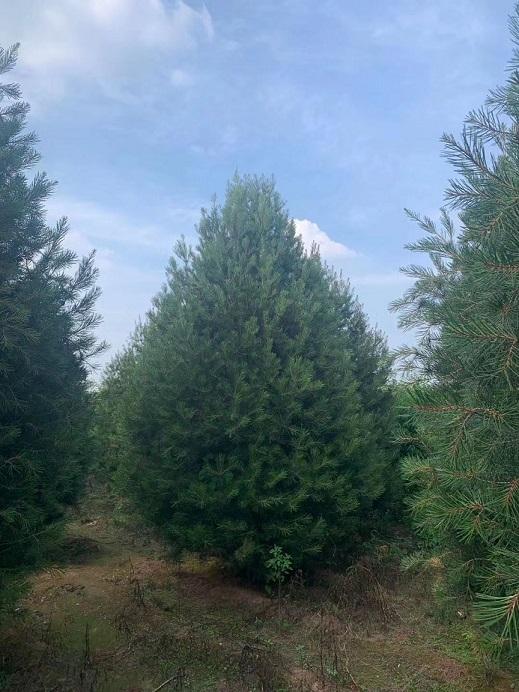 泰山区冠幅3-5米白皮松价格--福顺园林