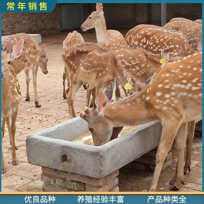 精品梅花鹿-动物园观赏梅花鹿价格-绥化梅花鹿鹿苗求购电话