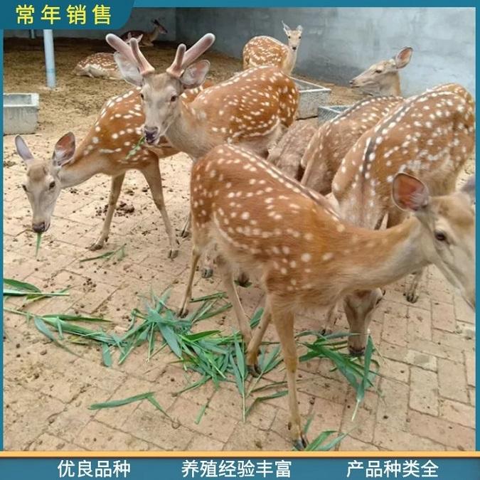 宠物梅花鹿_鹿产品(鹿胎盘|鹿鞭)_临沂观赏梅花鹿养殖