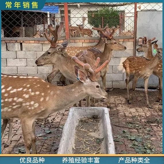 凉梅花鹿公鹿养殖,厂家直供大型宠物梅花鹿