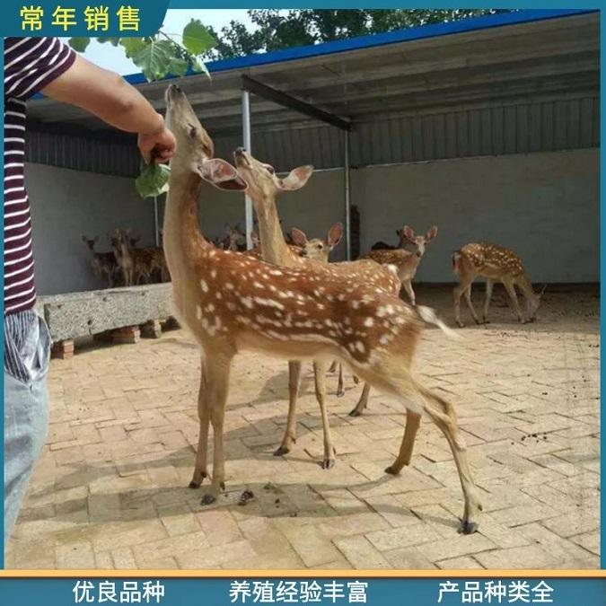 鹤岗梅花鹿母鹿价格,厂家直供旅游观赏梅花鹿