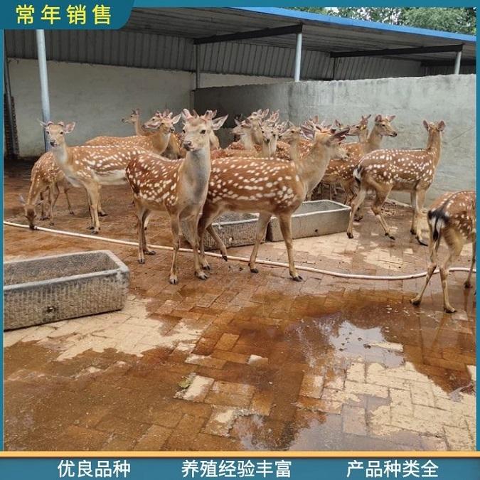 保定梅花鹿母鹿养殖,厂家直供活体观赏梅花鹿