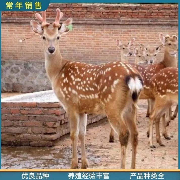 杭州小鹿苗求购,厂家直供各年龄段梅花鹿