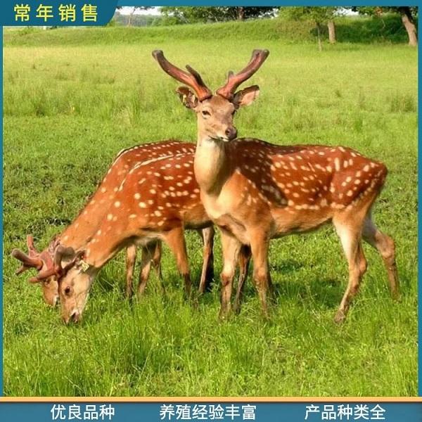 精品梅花鹿-大型宠物梅花鹿价格-陇南梅花鹿种鹿厂家(全国发货)