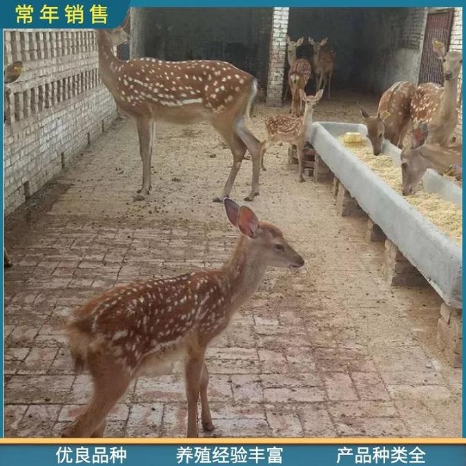 精品梅花鹿-动物园观赏梅花鹿价格-信阳梅花鹿(常年出售)