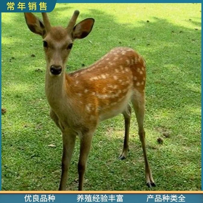 精品梅花鹿-活体观赏梅花鹿价格-荆门成年梅花鹿附养殖场