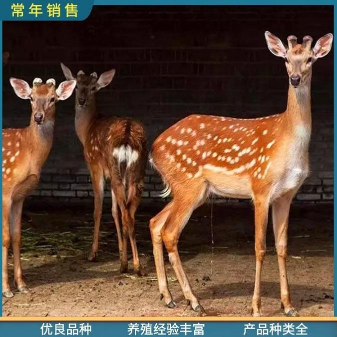 鹤岗观赏梅花鹿养殖厂家,厂家直供景区观赏梅花鹿
