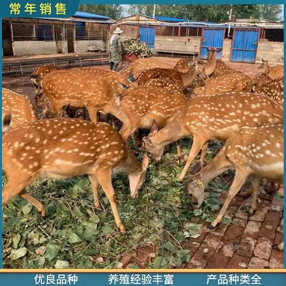 精品梅花鹿-长角梅花鹿价格-佛山萌宠梅花鹿哪里有卖的