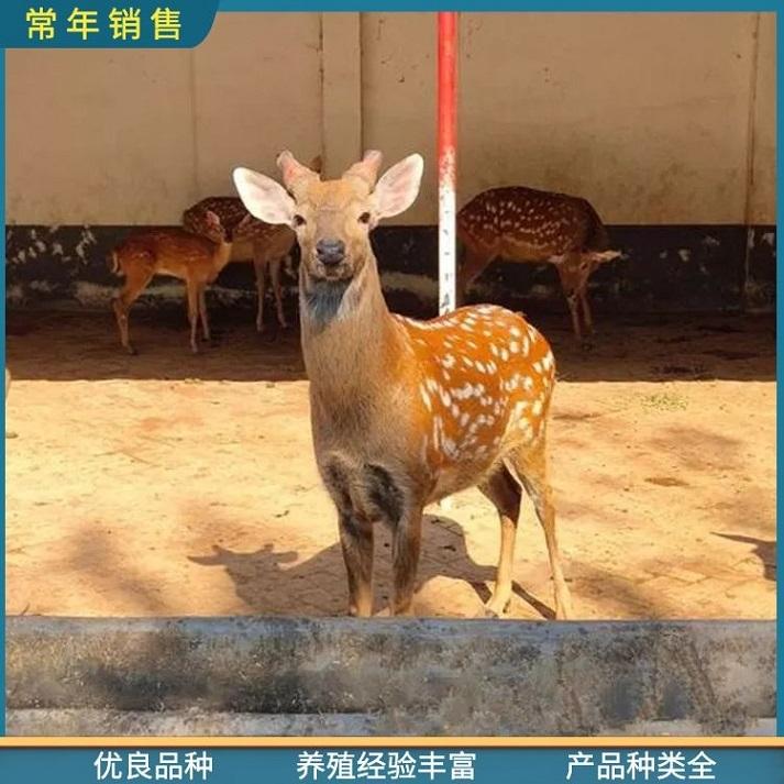滁州梅花鹿报价,厂家直供活体观赏梅花鹿