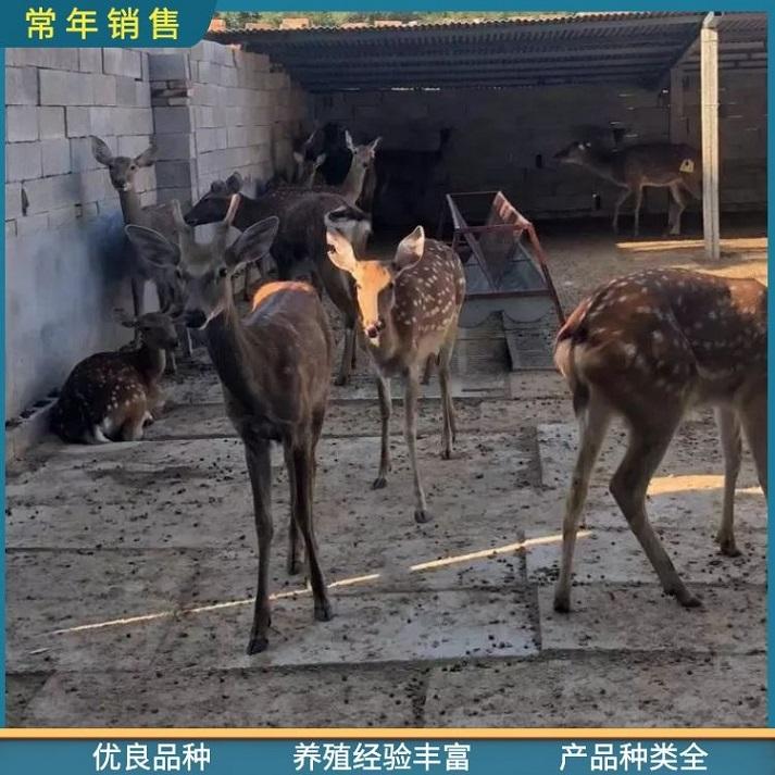 大兴安岭小鹿苗求购,厂家直供散养梅花鹿