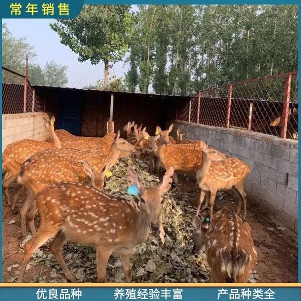 惠州梅花鹿种鹿在线咨询,厂家直供大型宠物梅花鹿