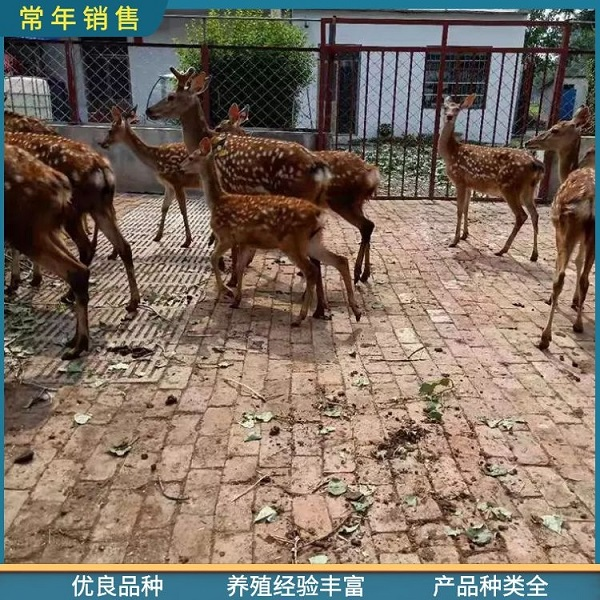 观赏梅花鹿出售-景区观赏梅花鹿品种齐全