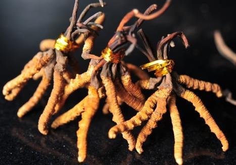 【期】广宁江屯回收散装虫草今日价格表查询