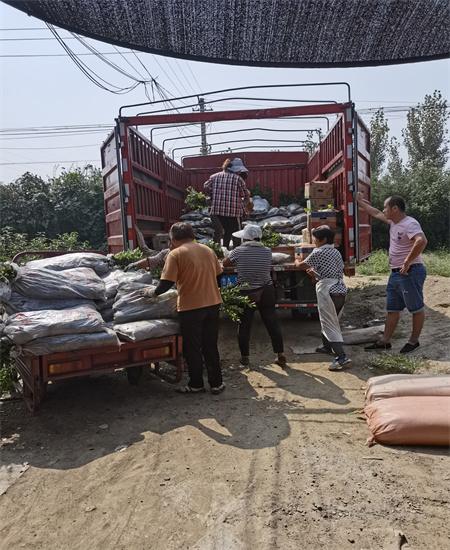 安徽合肥哪里卖优系蓝莓苗基地供应