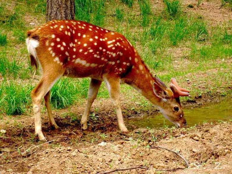 涼山梅花鹿多少錢一只-涼山梅花鹿公鹿養殖-【正企養殖】