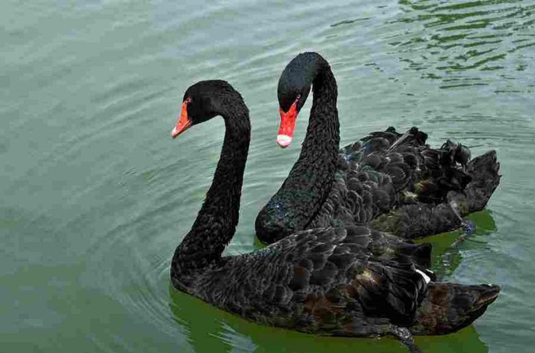 厂家直销黑天鹅  黑天鹅鹅苗出售   观赏黑天鹅批发价格