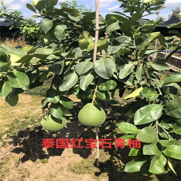 天全泰国红宝石青柚树苗咨询品种
