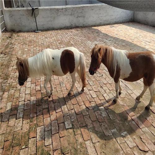 保山市活体矮马养殖--厂家供应骑乘拍照矮马