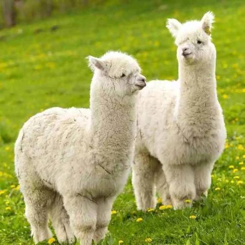 成年羊驼哪里有卖的-宁德