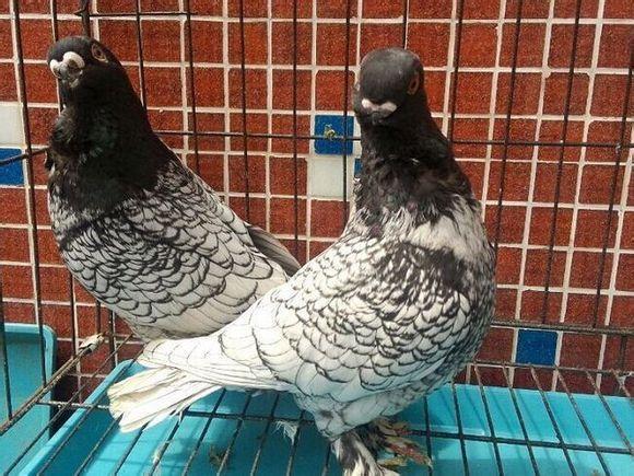 延安落地王种鸽厂家出售电话《种鸽养殖》