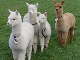 阜新羊驼贸易商