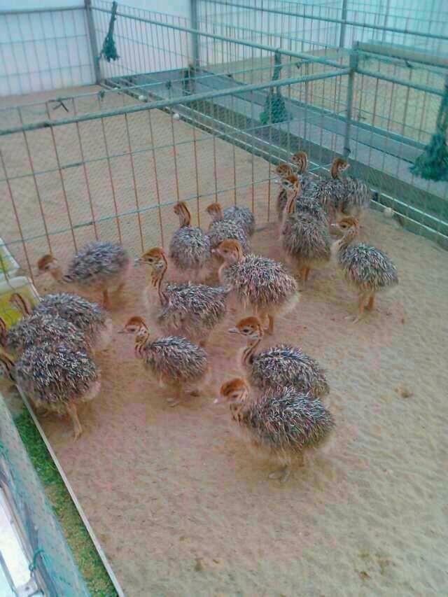 六盘水周边卖鸵鸟苗_各月龄鸵鸟低价出售_沃丰鸵鸟养殖