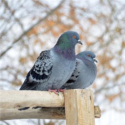 厂家供应观赏鸽_嘉峪关肉鸽种鸽多少钱一对