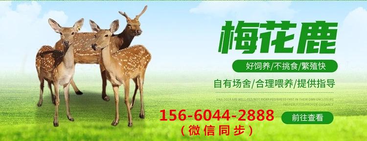 梅花鹿养殖--景区观赏梅花鹿咨询_阜新{正企养殖}