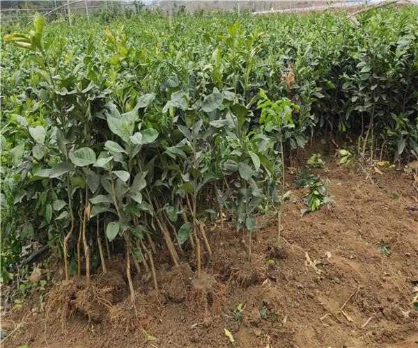 安居泰国红宝石青柚苗2021正达苗场采购嫁接枝条哪里有卖