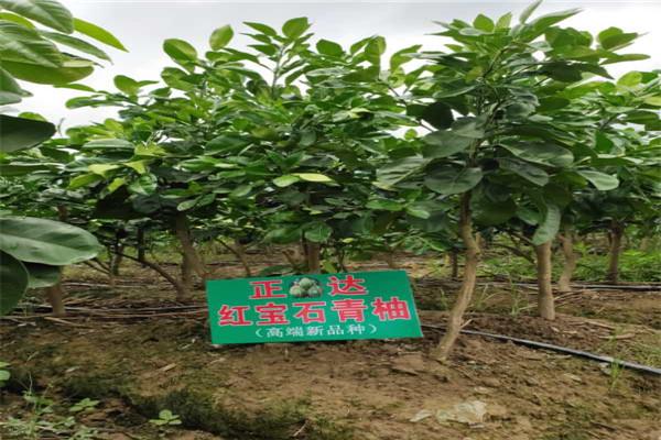 泗洪红宝石青柚苗供应产地哪里有卖