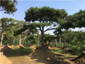 景观松 泰安岱岳15公分造型景观松在线咨询#福顺园林