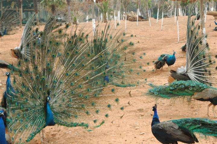 供应孔雀,蓝孔雀养殖基地,景区孔雀附近养殖场,【鸿金源孔雀养殖】