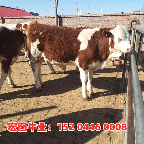 德阳市300斤西门塔尔牛犊价格