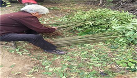 香椿苗质量保证一抚州